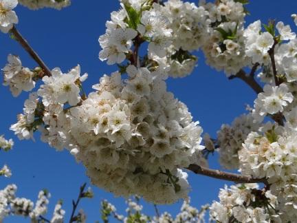 Nos cerisiers explosent de fleur. Dans quelques semaines, nous espérons qu'ils exploseront de cerises !